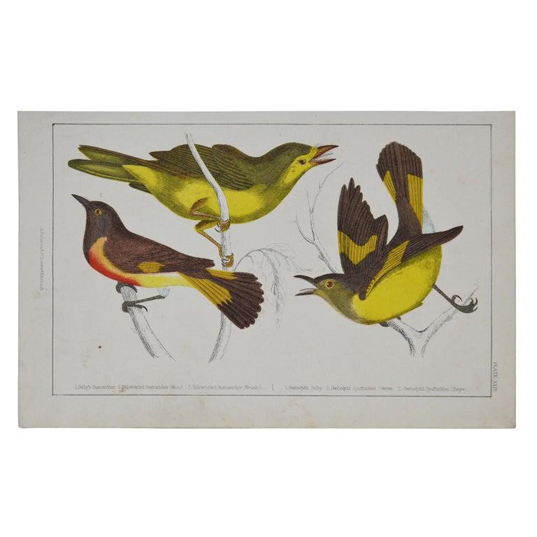 Original Antique Print of Gnat-Catchers, 1847 'Unframed' For Sale