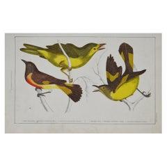 Original Antique Print of Gnat-Catchers, 1847 'Unframed'