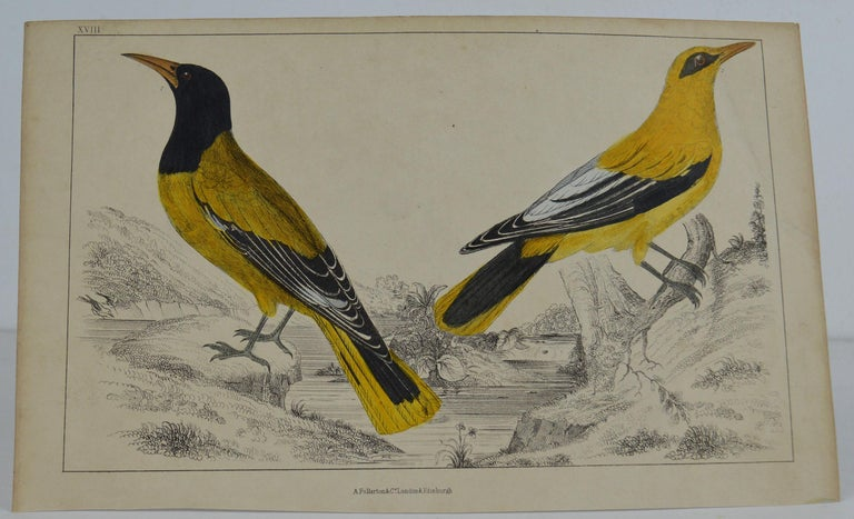 Great image of golden oriole  Unframed. It gives you the option of perhaps making a set up using your own choice of frames.  Lithograph after Cpt. Brown with original hand color.  Published 1847.  Free shipping.