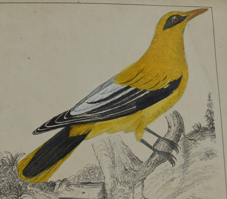 Folk Art Original Antique Print of Golden Oriole, 1847 'Unframed' For Sale