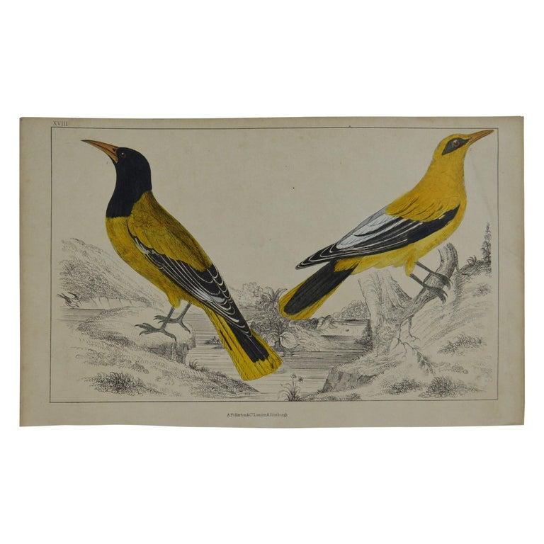 Original Antique Print of Golden Oriole, 1847 'Unframed' For Sale