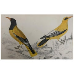 Original Antique Print of Golden Oriole, 1847 'Unframed'