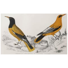 Original Antique Print of Golden Oriole, 1847 'Unframed'