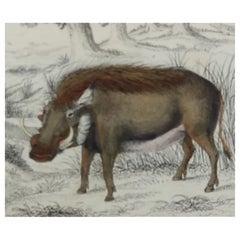Original Antique Print of Hogs / Pigs, 1847 'Unframed'
