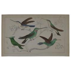 Original Antique Print of Hummingbirds, 1847 'Unframed'