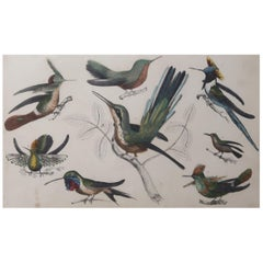Original Antique Print of Hummingbirds, circa 1850, Unframed