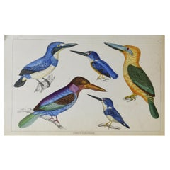 Original Antique Print of Kingfishers, 1847 'Unframed'