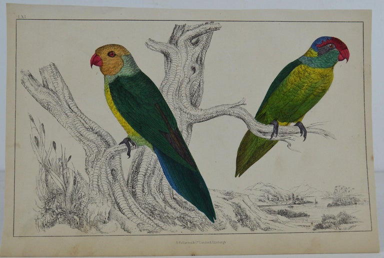 Great image of parrots  Unframed. It gives you the option of perhaps making a set up using your own choice of frames.  Lithograph after Cpt. Brown with original hand color.  Published 1847.  Free shipping.