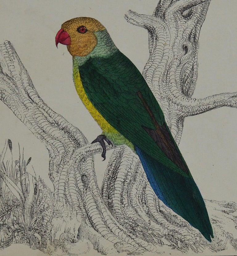 Folk Art Original Antique Print of Parrots, 1847 'Unframed' For Sale