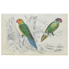 Original Antique Print of Parrots, 1847, 'Unframed'