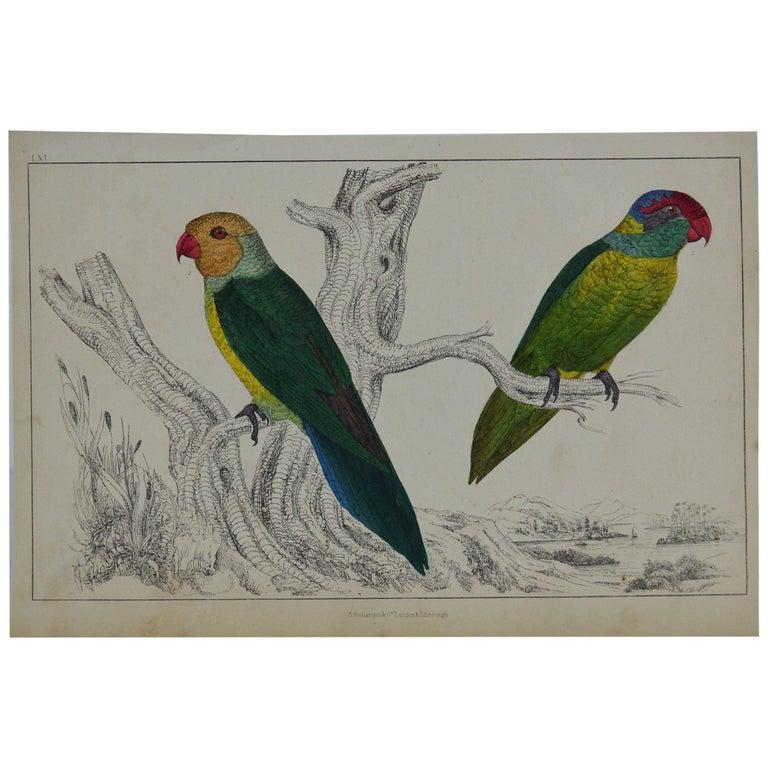 Original Antique Print of Parrots, 1847 'Unframed' For Sale