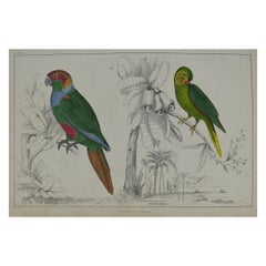 Original Antique Print of Parrots, 1847 'Unframed'