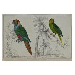 Original Antique Print of Parrots, 1847 'Unframed'