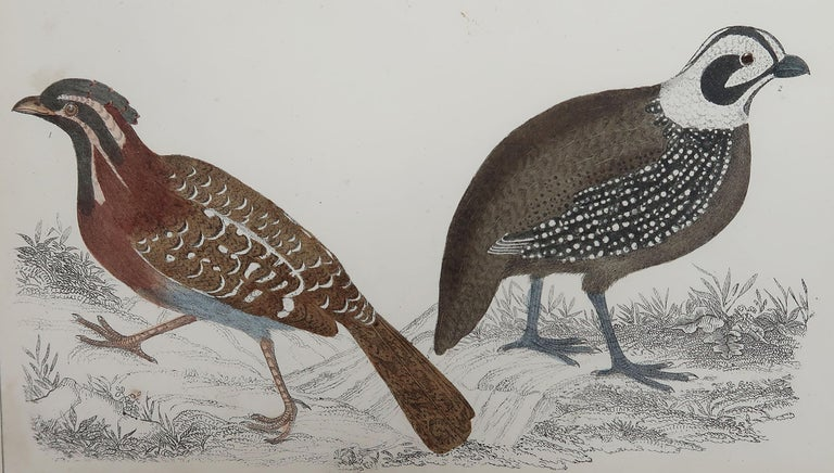 Great image of quail  Unframed. It gives you the option of perhaps making a set up using your own choice of frames.  Lithograph after Cpt. brown with original hand color.  Published, 1847.  Free shipping.