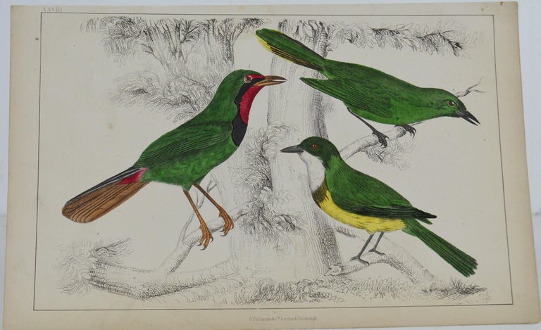 Great image of shrike  Unframed. It gives you the option of perhaps making a set up using your own choice of frames.  Lithograph after Cpt. Brown with original hand color.  Published 1847.  Free shipping.