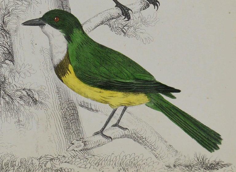 Folk Art Original Antique Print of Shrike, 1847 'Unframed' For Sale