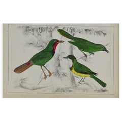 Original Antique Print of Shrike, 1847 'Unframed'
