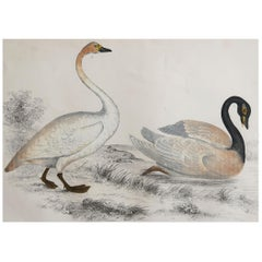 Original Antique Print of Swans, 1847 'Unframed'