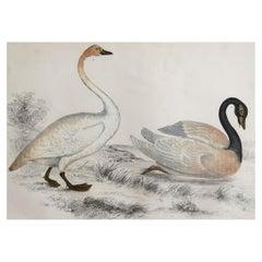 Original Antique Print of Swans, 1847 'Unframed'