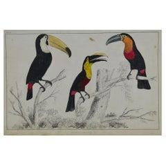 Original Antique Print of Toucan, 1847 'Unframed'