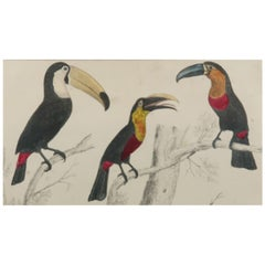Original Antique Print of Toucan, 1847 'Unframed'