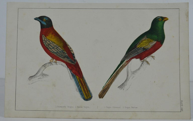 Great image of trogons