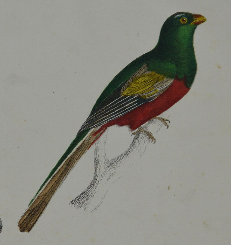 Folk Art Original Antique Print of Trogons, 1847 'Unframed' For Sale