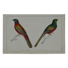 Original Antique Print of Trogons, 1847 'Unframed'