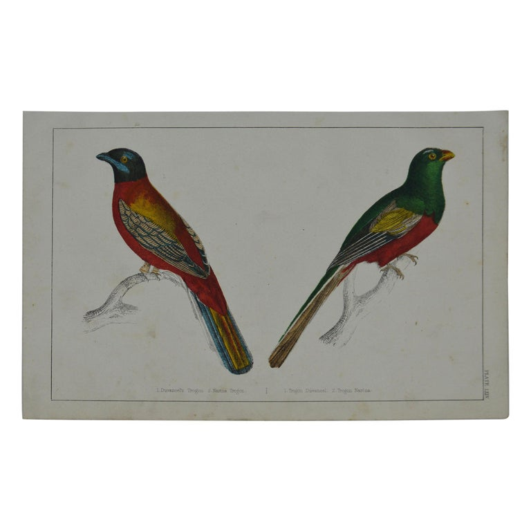 Original Antique Print of Trogons, 1847 'Unframed' For Sale