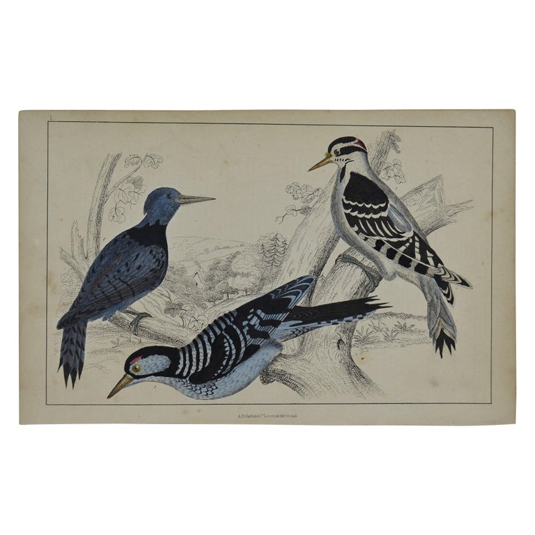 Original Antique Print of Woodpeckers, 1847 'Unframed' For Sale