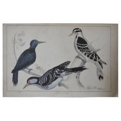 Original Antique Print of Woodpeckers, 1847 'Unframed'