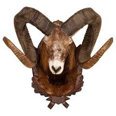 Original Mouflon Sheep Trophy Mount