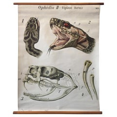 Original Vintage Scientific Chart of a Snake Head with Jaw Bone and Fang Detail