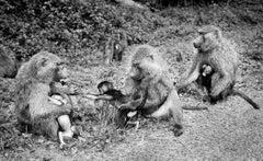Baboon Mothers & Children - BW photograph of monkeys in Uganda, East Africa