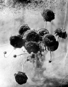 Ranunculus, Still life black and white photo of flowers, silver gelatin print