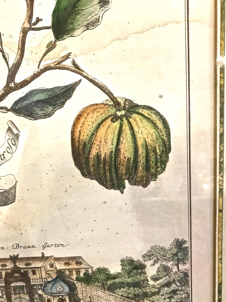 18th Century Pair of J. C. Volkamer Hand-Colored Botanical Engravings, circa 1708 For Sale