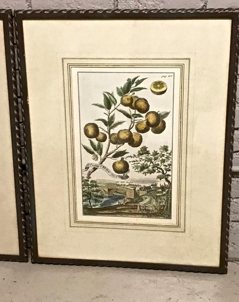 Paper Pair of J. C. Volkamer Hand-Colored Botanical Engravings, circa 1708 For Sale