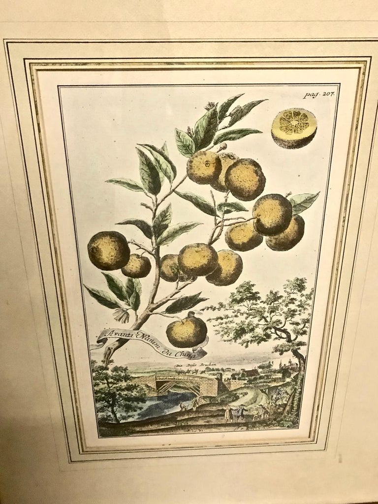 Pair of J. C. Volkamer Hand-Colored Botanical Engravings, circa 1708 For Sale 1