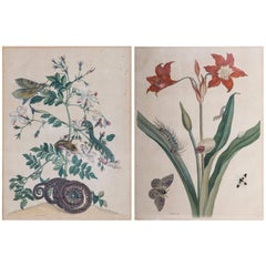 Pair of Antique Botanical Prints, by Maria Sibylla Merian, 18th Century