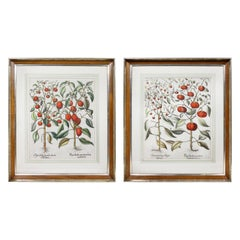 Pair of Botanical Engravings of Tomatoes by Basilius Besler