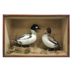 Pair of Brown and White Ducks in Display Case
