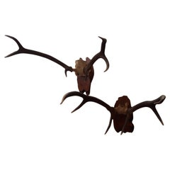 Pair of Early Deer Antler Mount On Black Forest Wood Plaque, Dated 1973