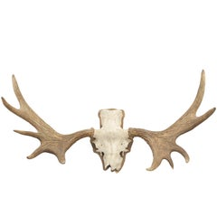 Taxidermy, Pair of Moose, Elk Antlers For Sale at 1stdibs