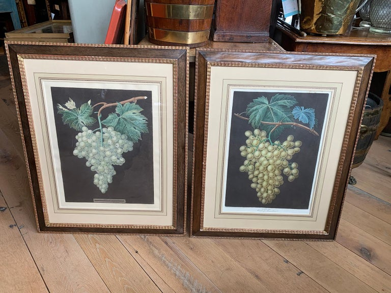 Pair of early 19th century circa 1812 English hand colored aquatint engravings of grapes by George Brookshaw from