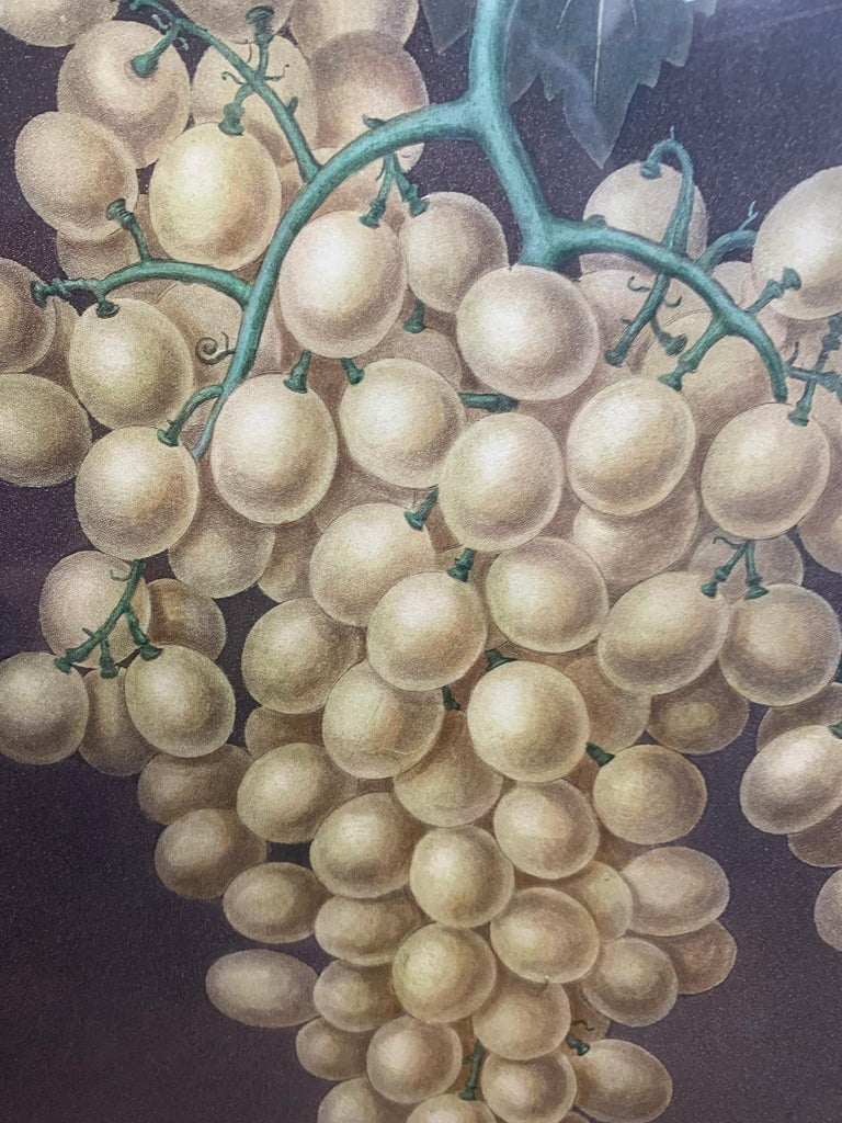 Pair of English Hand Colored Aquatint Engravings of Grapes by George Brookshaw For Sale 1