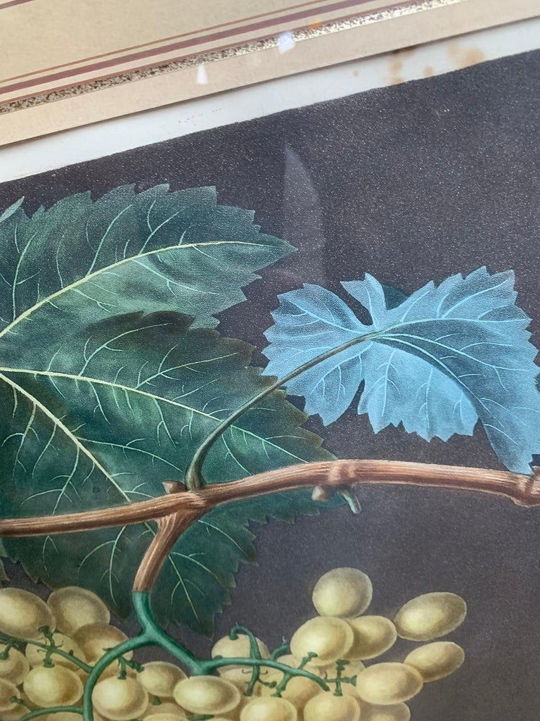 Pair of English Hand Colored Aquatint Engravings of Grapes by George Brookshaw For Sale 2