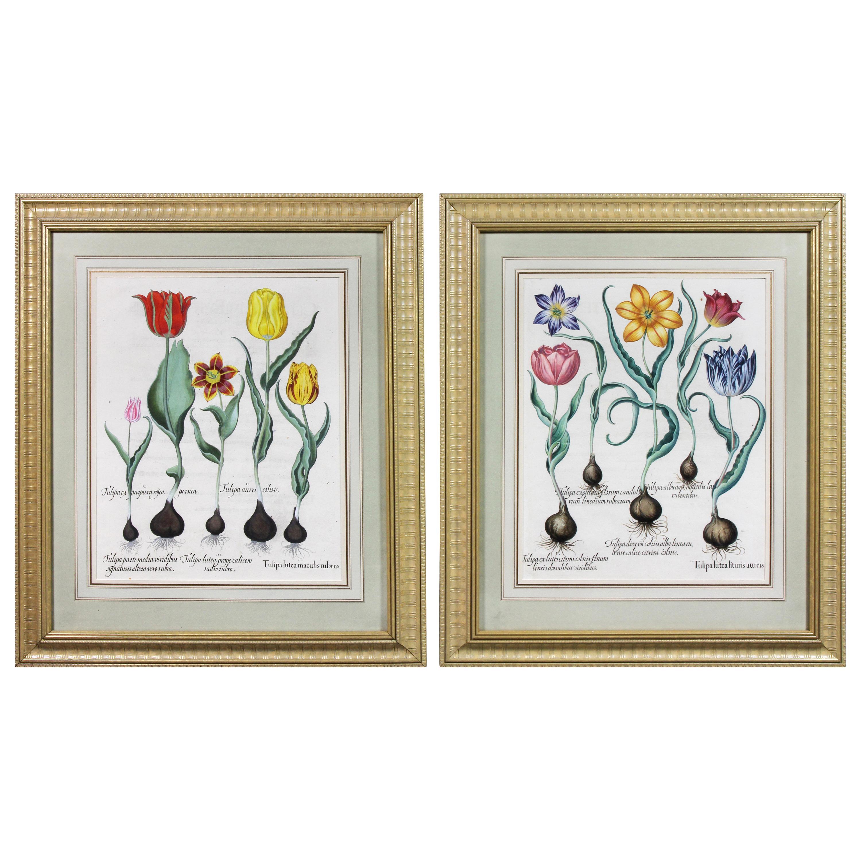Pair of Framed Hand Colored Engravings of Tulips by Basilius Besler