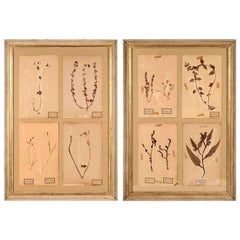 Pair of Framed Herbaria