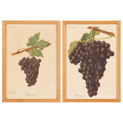 Pair of French Framed Engravings of Grapes, 20th Century