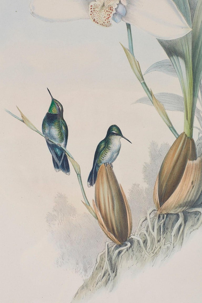 Pair of John Gould Ornithological Colored Hummingbird Prints For Sale 8